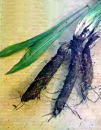 Скорцонер Обыкновенный — описание и выращивание