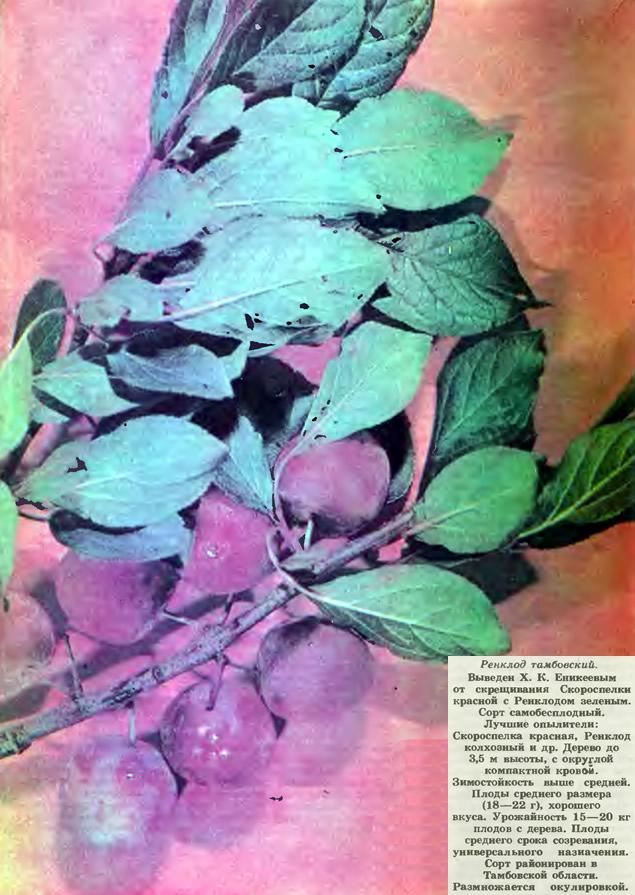 слива ренклод тамбовский описание сорта фото