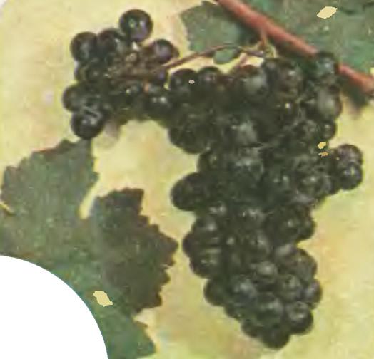 Сорт винограда Кармарют