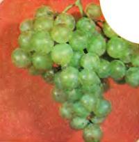 Сорт винограда Мадлен мускатный
