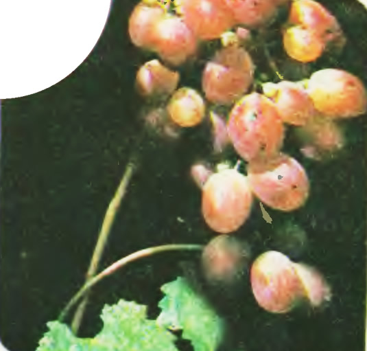 Сорт винограда Ризомат