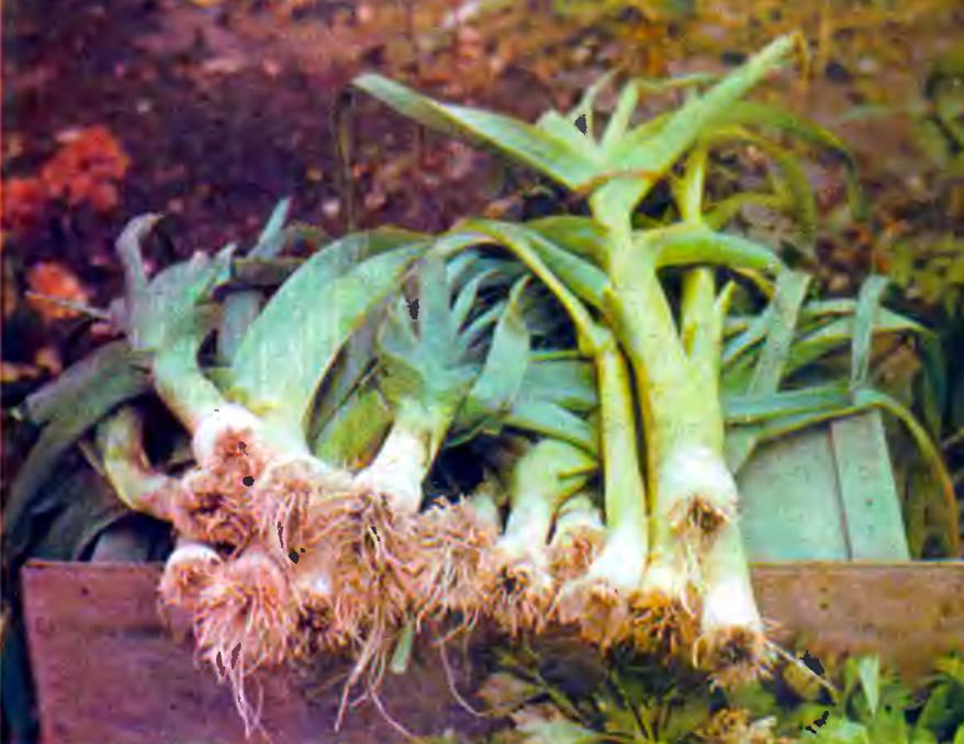 Выращивание лука порей в подмосковье