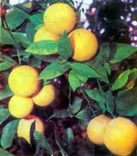 Спелые апельсины на дереве