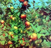 Спелые яблоки на деревьях