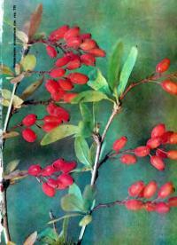 Спелые ягоды барбариса