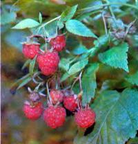 Спелые ягоды малины