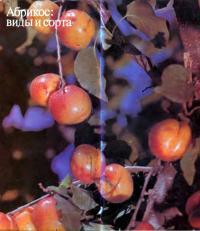 Спелый абрикос на дереве