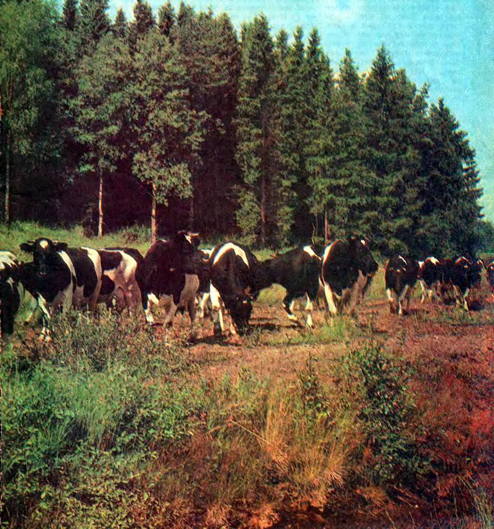 Стадо коров на выпасе