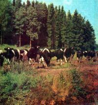 Своевременный запуск коровы после отела