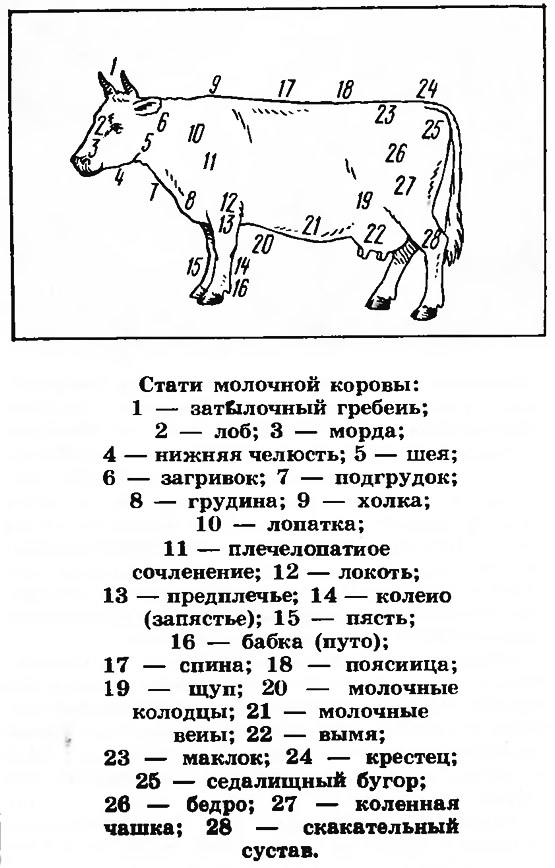 Стати молочной коровы