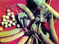 Особенности выращивания гороха