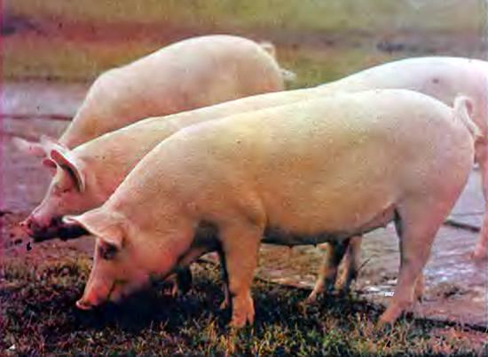 Свиньи крупные белые беконного типа