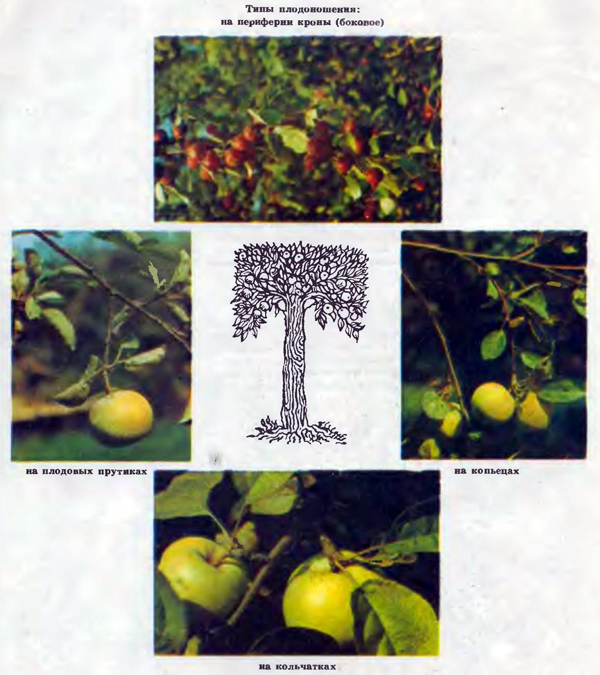 Типы плодоношения на разных частях яблони