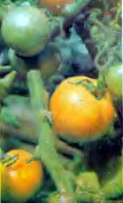 Томаты сорта Апельсиновые