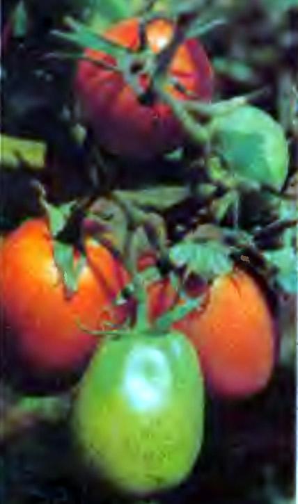 Томаты сорта Де-Барао