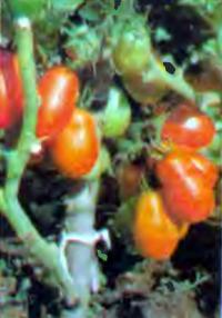 Томаты сорта Хабаровские