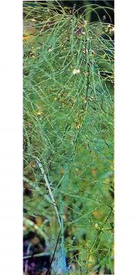 Трава полевого хвоща