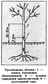 Выращивание сада из карликовых плодовых деревьев