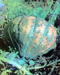 Выращивание тыква сорта Витаминная