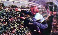 Удобно обрабатывать землянику, посаженную в несколько ярусов