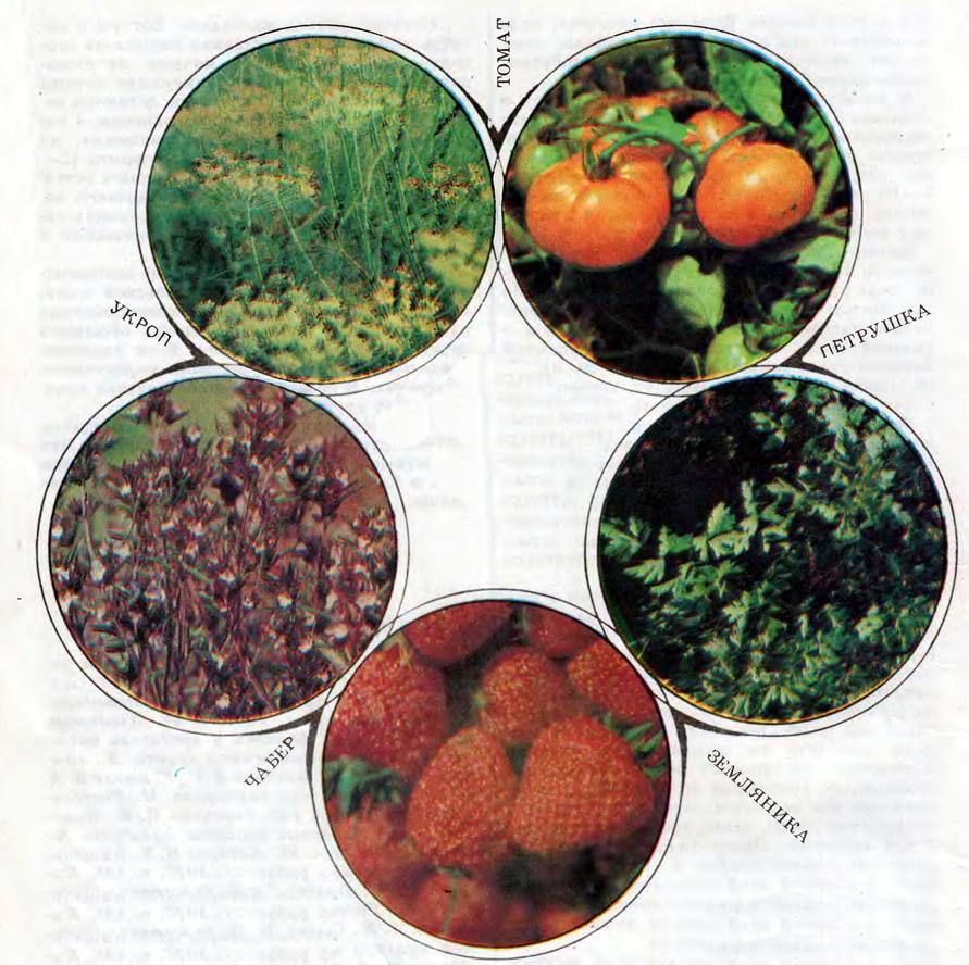 Укроп, томат, петрушка, земляника, чабер