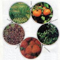 Сочетаемость различных овощных культур в смешанных посевах