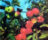 Урожай спелых яблок