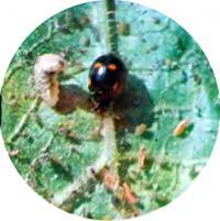 В колонии тли хозяйничают божья коровка и личинка журчалки