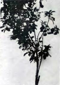 Ветвь яблони сорта Бессемянка Мичурина, окорененная два года назад