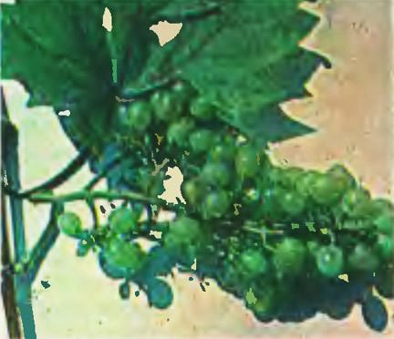 Виноград сорта Московский белый
