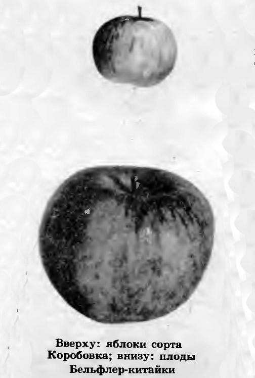 Вверху яблоки сорта Коробовка, внизу плоды Бельфлер-китайки