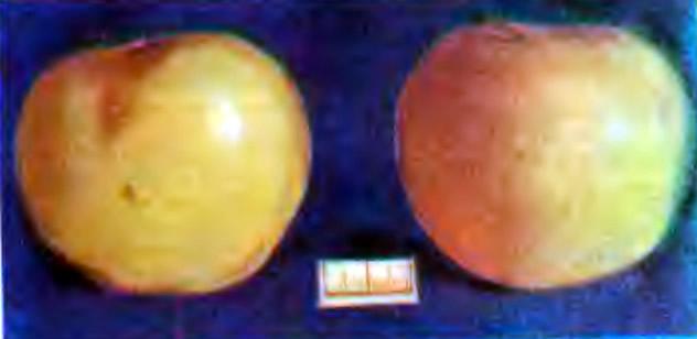 Яблоки лежкого сорта Московское позднее