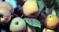 Два противоположные по вкусу сорта яблок