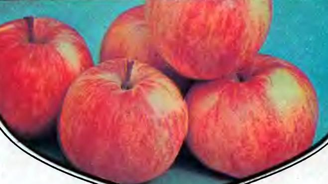 Яблоки сорта Бельфлер-китайка