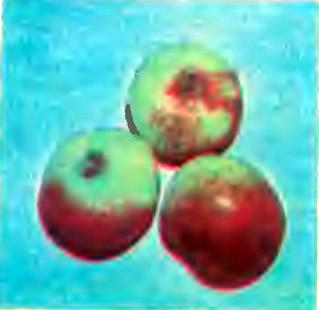 Яблоки сорта Гаргамма Юбилейное