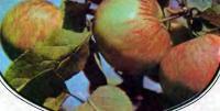 Яблоки сорта Коричное полосатое
