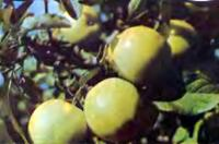 Яблоки сорта Народное