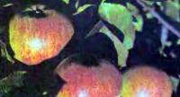 Яблоки сорта Осенняя радость