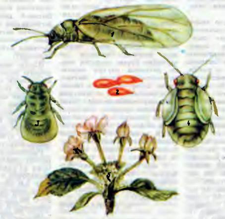 Яблонная медяница — опасный вредитель