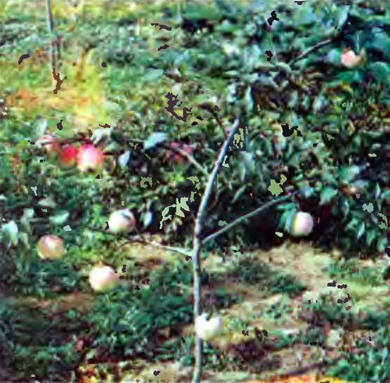 Яблоня интенсивного сорта — начала плодоносить на второй год