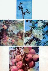 Яблоня от набухания почек до плодоношения