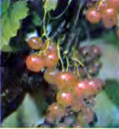 Ягоды красной смородины