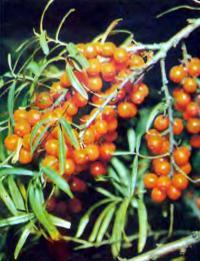 Выращивание ягод из зеленых черенков