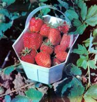 Снижение засоренности ягодника и сохранение влаги почвы