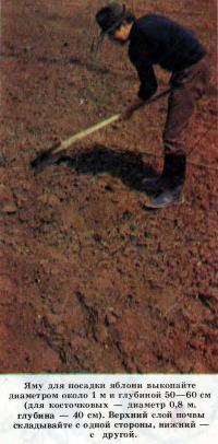 Яму для посадки яблони выкопайте диаметром около 1 м и глубиной 50—60 см