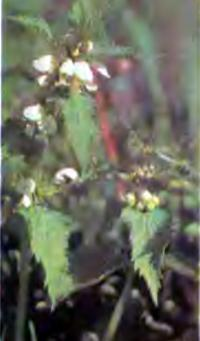 Сорняк яснотка белая (глухая крапива)