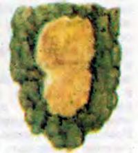 Яйцекладка непарного шелкопряда