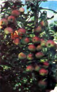 Правильный выбор сорта яблони