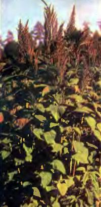 Один главнейших сорняков щирица (амарант)