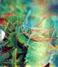 Кузнечики — вредители или полезные насекомые?